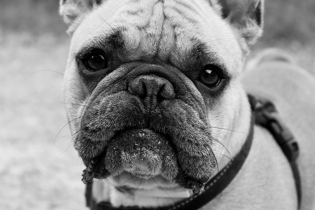 How to Stop Your Bulldog's Chronic ear Infections